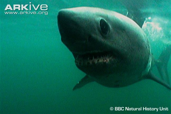 Aformidable hunter, the salmon shark (Lamna ditropis)is sometimes mistaken for the white shark (Carcharodon carcharias), but can be distinguished by its shorter snout and the dusky...