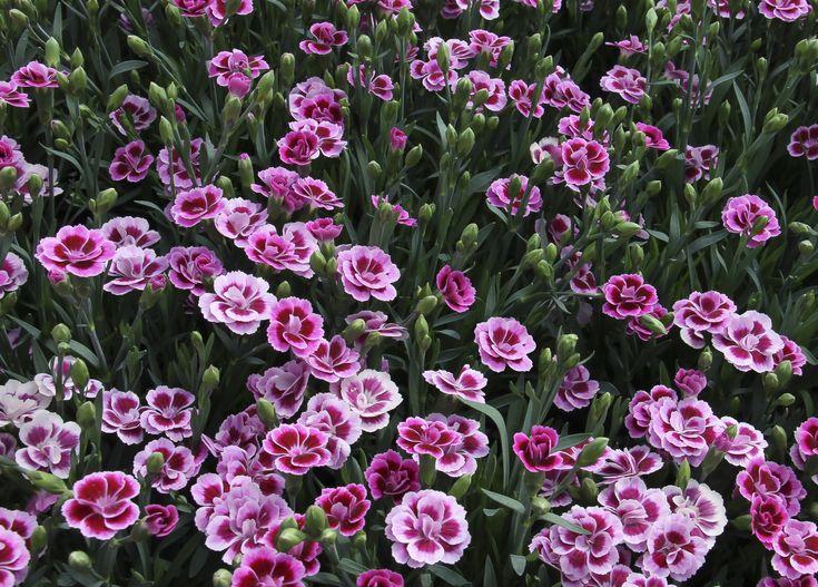 dianthus-caryophyllus-pink-kisses-blc3bctenmeer-photo-selecta-klemm.jpg…