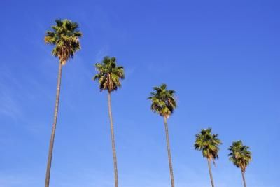 Mexican Fan Palm Tree Care Tips