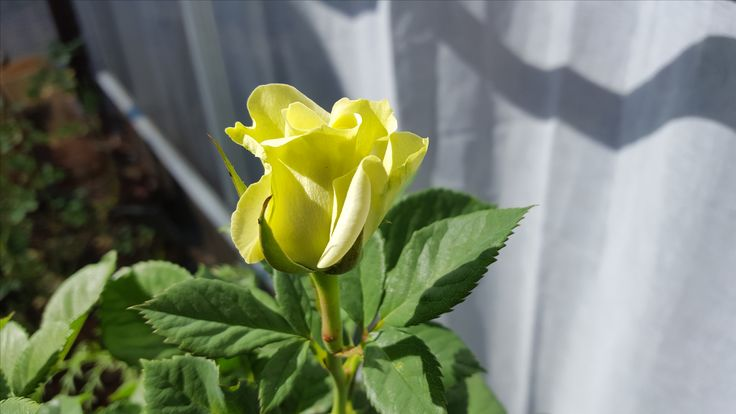 A lite green rose.