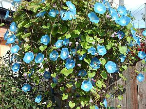 How to Grow Morning Glories From Seeds | Garden Guides ..... Front porch
