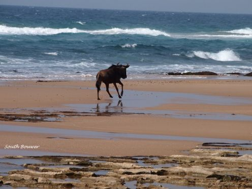 A lone wildebeest galloping wildly on the beach between Sodwana Bay and Cape Vidal