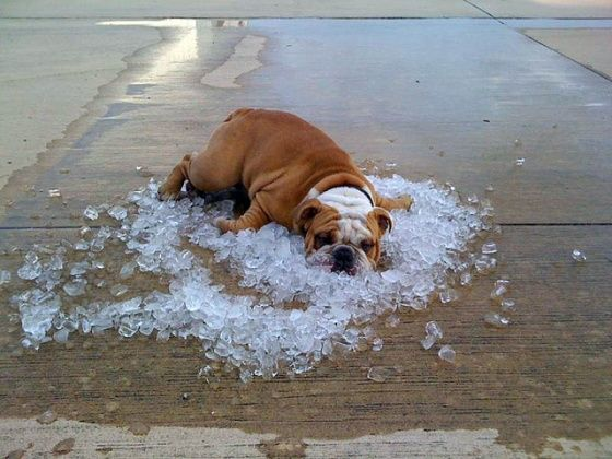 Awwww.  One hot bulldog!  :)Puppies, Ice Cubes, Hot Summer Day, Dogs Day, English Bulldogs, Hot Day, The Heat, Hot Dogs, Animal