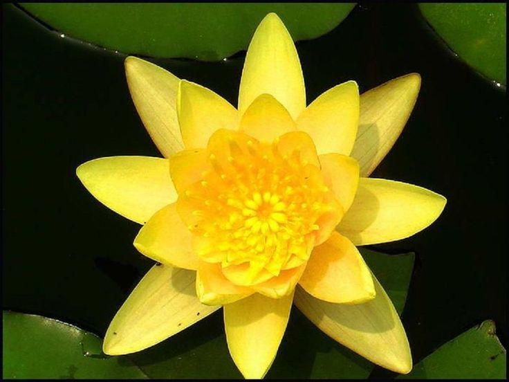 20+ YELLOW LOTUS Seeds Nymphaea Eldorado Asian Water Lily Pad Flower Pond Seeds #YELLOWLOTUSSeeds