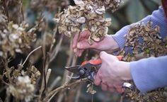 Hortensien richtig schneiden - Beim Schneiden von Hortensien sind viele Hobbygärtner unsicher. Der Schnitt ist nicht schwierig – Sie müssen nur die Hortensien-Art kennen. Hier lesen Sie, welche Pflanzen wie geschnitten werden. Mehr