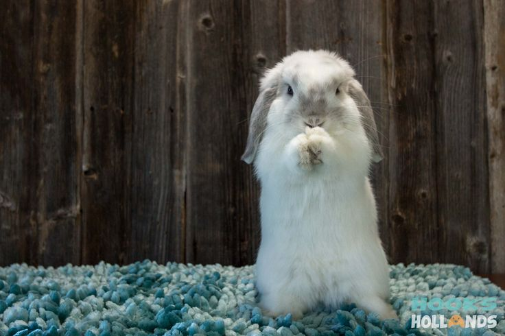 Frosty Holland lop doe from Hook's Hollands Ohio Holland Lops