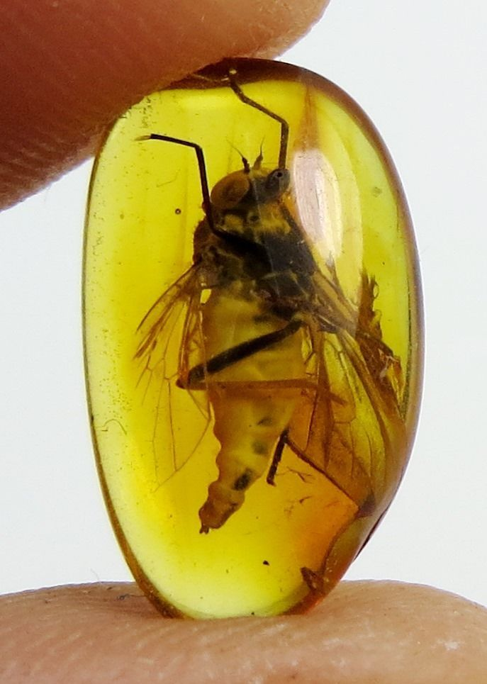 Fossil insect Big SNIPE FLY Rhagionidae inclusion in Natural BALTIC AMBER stone
