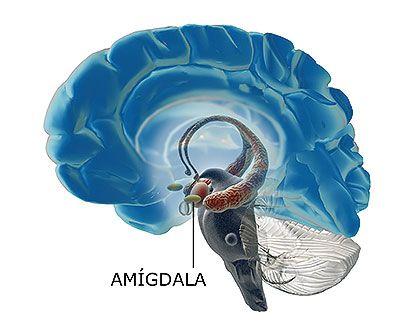 amigdala cerebral