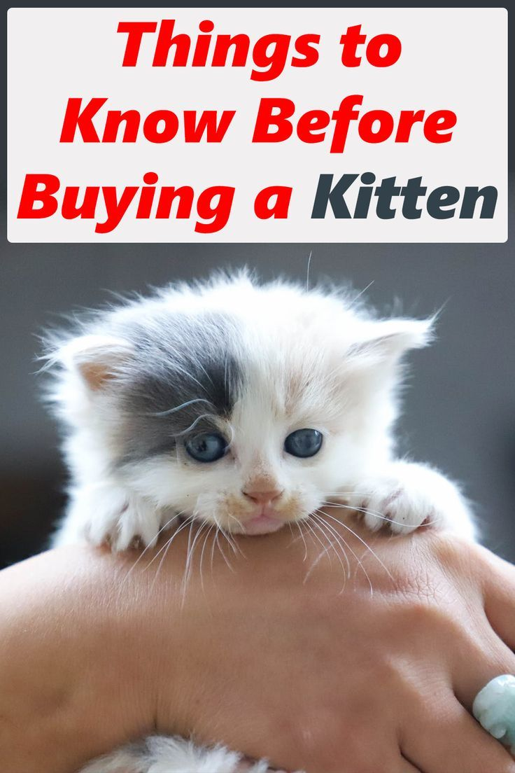 Things To Know About A Kitten Before You Buy It Buy A Kitten Buy A Cat Cat Has Fleas