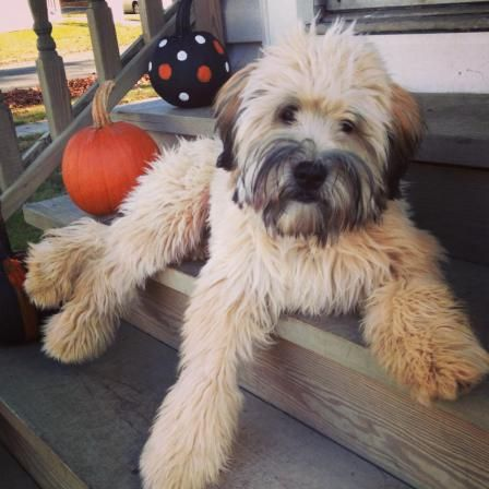 Super cute Wheaten and super awesome cupcake recipes #SoftCoatedWheaten