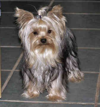 Looking for a Yorkie, Yorkshire Terrier/Schnauzer (Miniature) dog ...