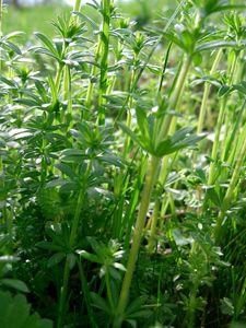 Wiesen-Labkraut für Wiesenbowle