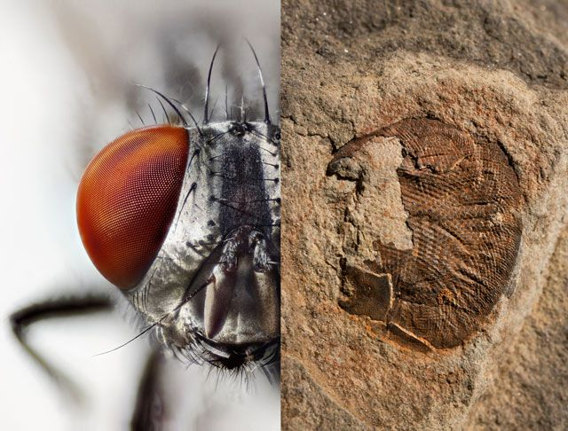 Picture of a flesh fly compound eye and a fossilized arthropod compound eye