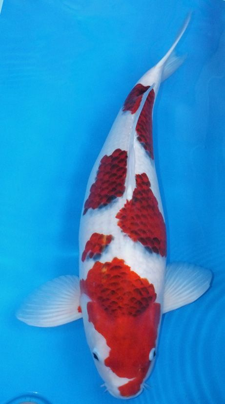 322 best koi and goldfish images on pinterest backyard for Artificial koi fish for ponds