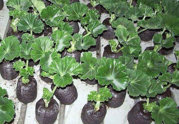 Чаще всего пеларгонию размножают черенками. Это самый быстрый способ получить цветущее растение. К тому же семена, полученные от гибридных гераней, не воспроизводят в точности всех качеств родит…