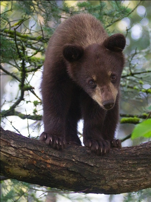 Tell FL NO 2016 Bear Hunt http://petitions.moveon.org/sign/no-florida-black-bear?source=c.em&r_by=13984003
