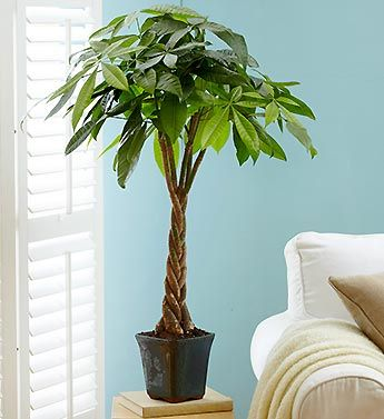Money Tree Bonsai ... also known as the Pachira Plant, is a traditional symbol of good luck and good fortune.