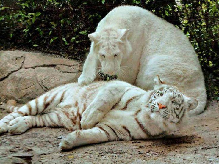 sneeuw tijger