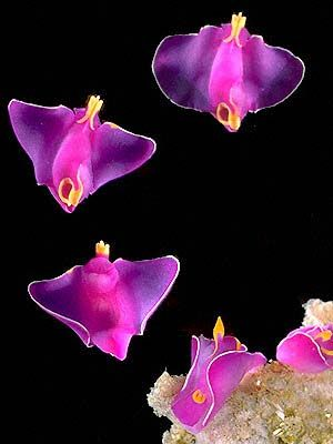 Batwing Slug - Pretty Fuchsia Color -Amazing! Sea creatures are beautiful.