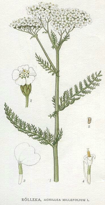 "Achillea millefolium. Carl Axel Magnus Lindman's ""Bilder ur Nordens Flora"", published 1901-05."