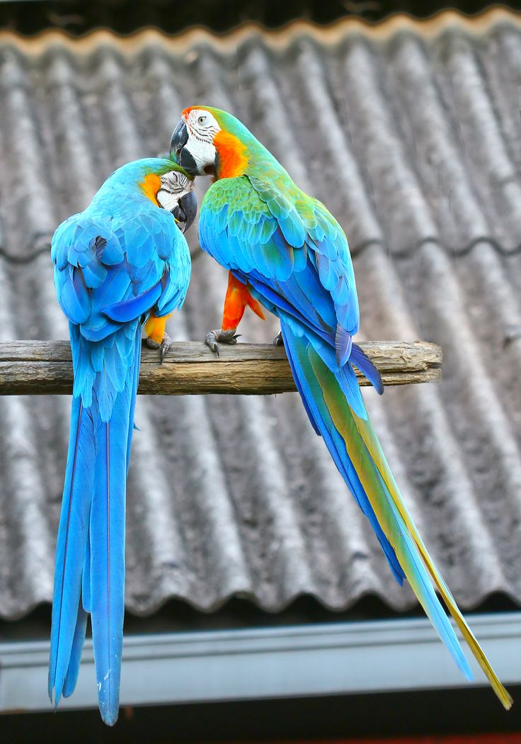 colourful pair | For the Love of Parrots | Parrot bird ...