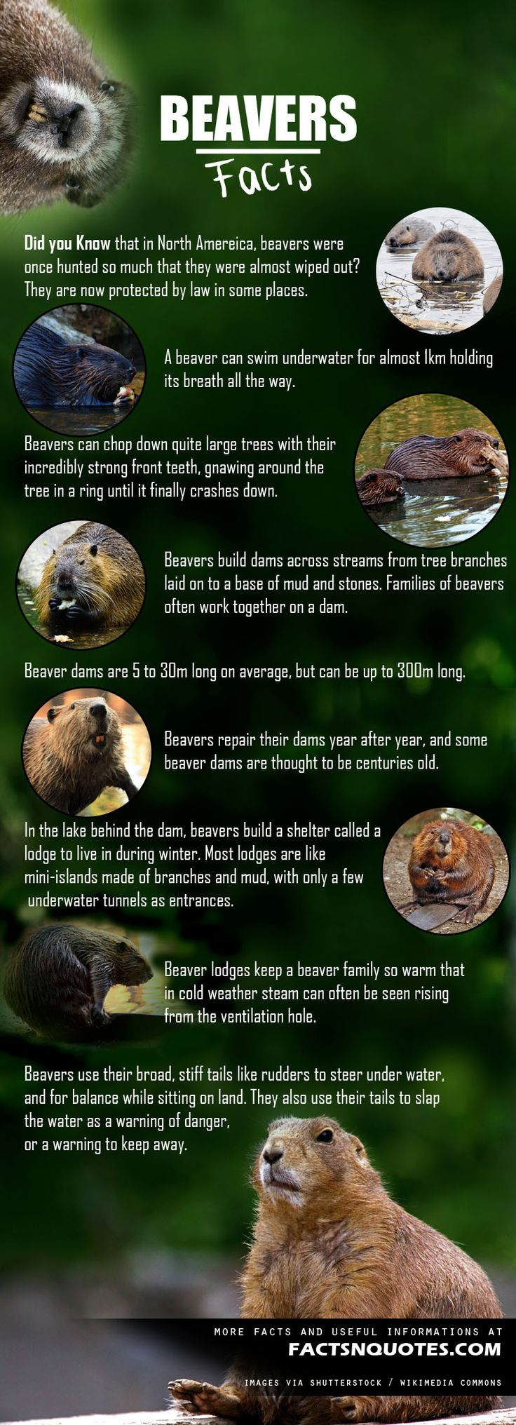 Amazing Beavers Facts You Should Know