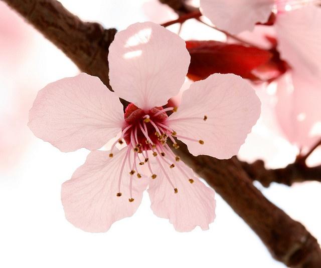 Cherry Plum #2 -- by philipbouchard
