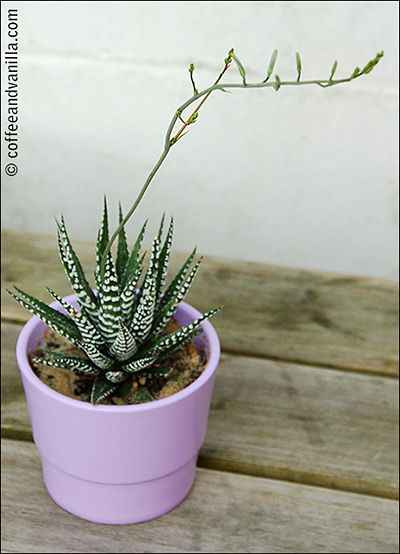 My Latest Obsession Succulents Amp Cacti Gallery With