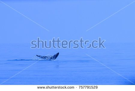 Bryde's whale's tail, Eden's whale, Balaenoptera edeni