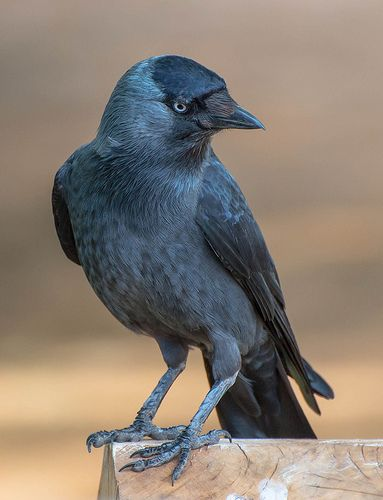 Western Jackdaw (Corvus monedula), also known as the Eurasian jackdaw -
