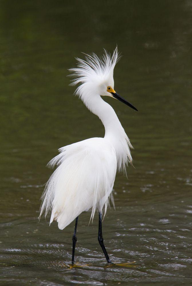 florida Snowy Egret - Google Search | art | Birds, Names ...