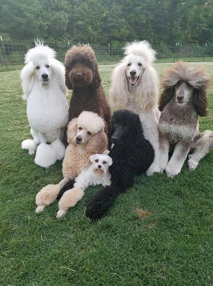 Poodles Are Normally Seen In Motion Pictures As The Animal Of