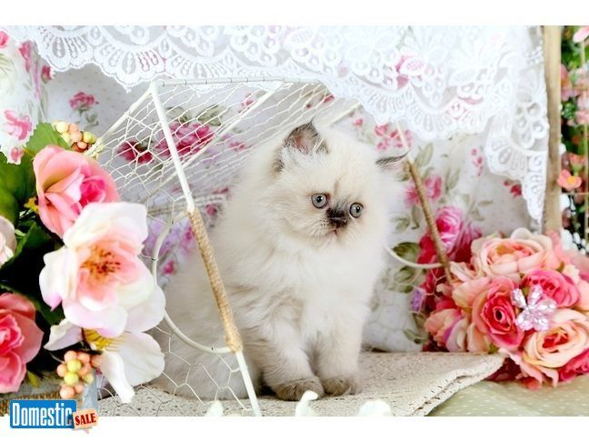 Chocolate Point Himalayan Kitten For Sale Check out his super adorable little chocolate BUTTON nose Too freakin cute! Not only is he off the charts adorable, but you will be hard ...