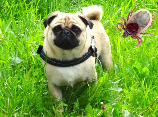- Ticks in dogs  -  Find out, which #ticks are dangerous for the dog, what diseases they transmit, how to prevent against them and how to remove them properly. Tonys-Dog-Blog.com  #tonysblog #pugs #dogs #dogtips