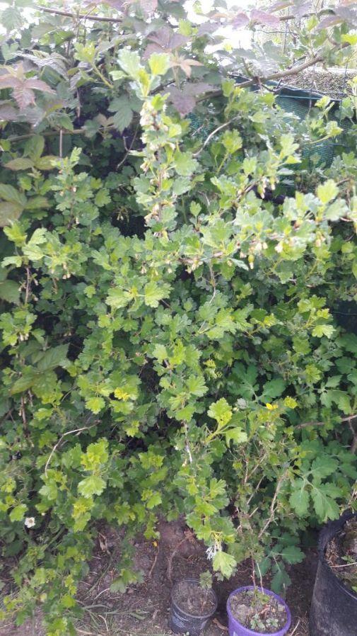 5 €: vijver planten kopen  Waterlelies gele kleur Grote planten  Waterlelies roze kleur Grote planten  Iris planten  groter planten ( gele kleur) Hosta planten nog 4 stukken ( 8 €)  vijver planten een kope...