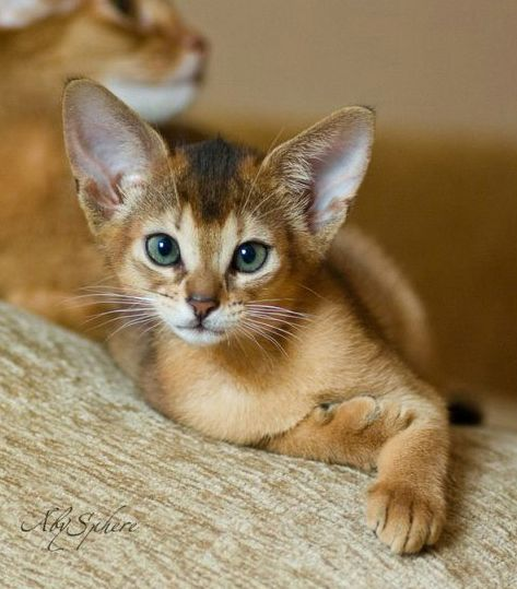 Amazing cats breeds - Abyssinian         From kittybloger          via Linda Rommelaere