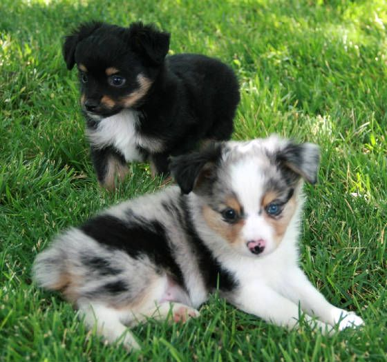miniature aussies for sale in texas |     puppies in Blue Merle for