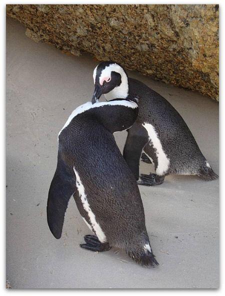 Cape Town's favourite penguin beach, Boulders.