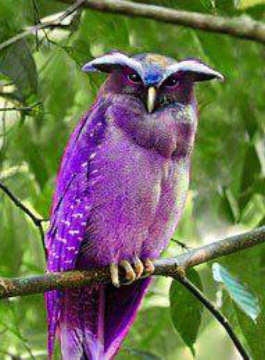 Purple owl very unusual - Kleurrijke vogels, Vreemde ...
