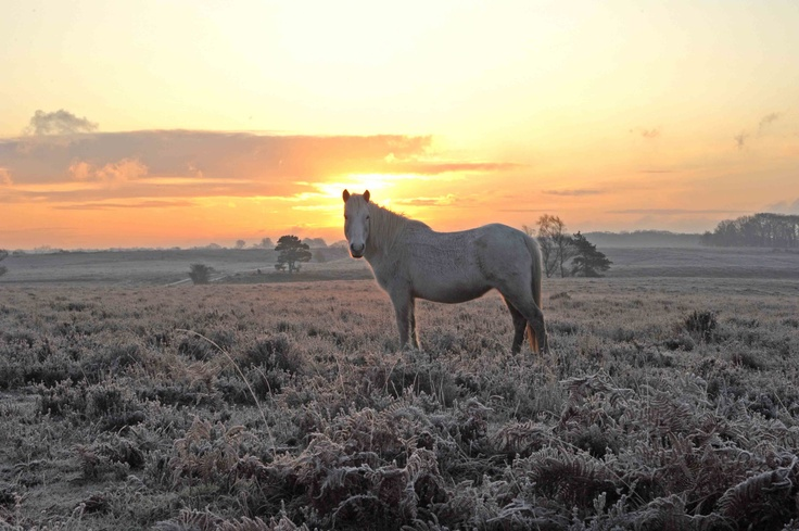 New Forest pony at dawn.