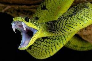 Que faire en cas de morsure de serpent ?