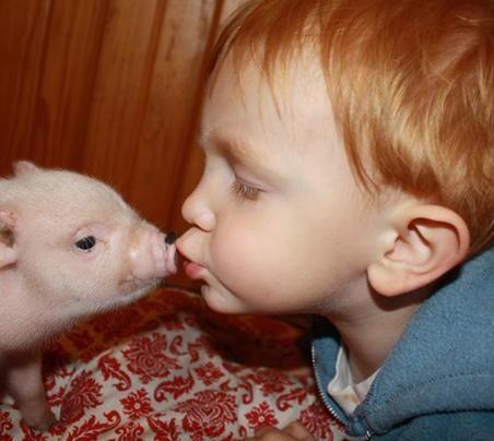 Charming Mini Pigs -