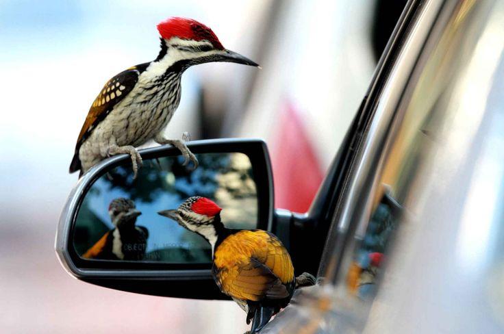 Des oiseaux de la famille de picidés profitent d'un rétroviseur pour se regarder.