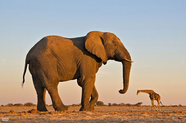 The Elephants in South Africa are much larger than their relatives...