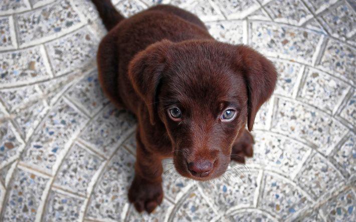 Download imagens filhote de cachorro, 4k, retriever chocolate, pequeno labrador, canino, animais fofos, labrador