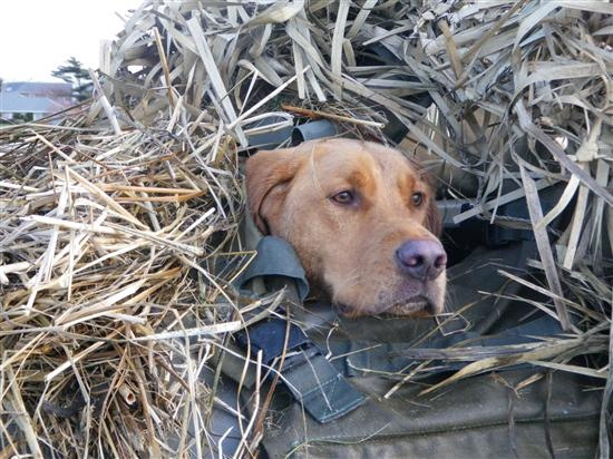 Duck Blind Dog In The Blind I Can T Wait For The Season