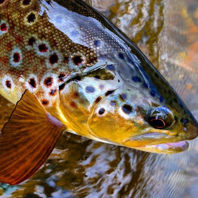 Pretty brown trout.