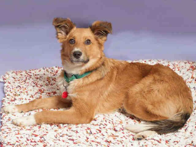 ELF...Elf came to our facility as a transfer from animal control. Since he had been out as a stray, we do not know his full background. Elf had been adopted by a nice lady who regularly excercised him   every day. Elf is looking for a home where he can be...