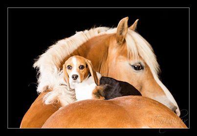 Dog and horseBeagles And Hors, Dogs Hors, Beautiful Hors, Palomino Hors, Majestic Hors, Things Hors, Horses Dogs, Animal Friends, Horsey Things
