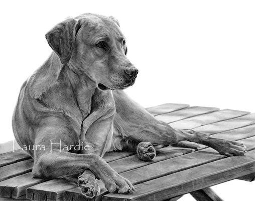 Yellow Lab graphite drawing